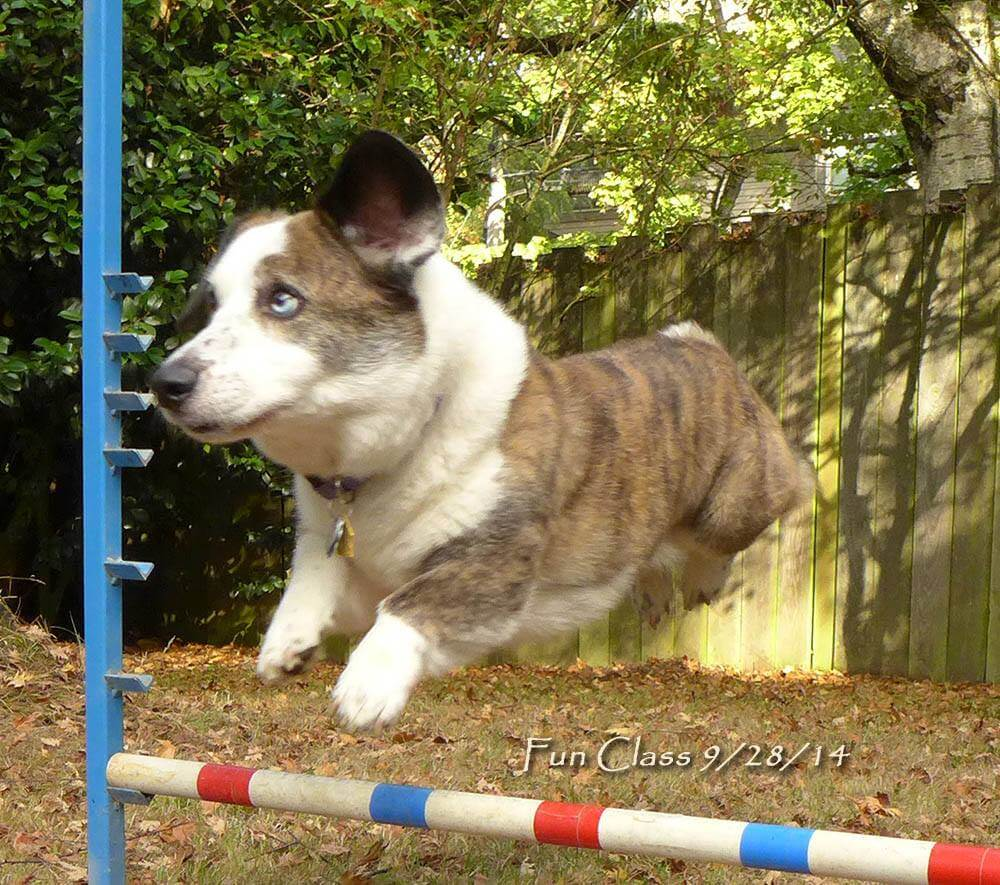 Dagger, Corgi jumping over jump